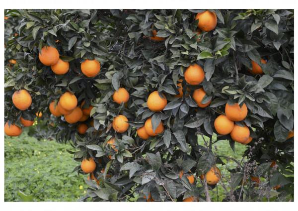 Bio-Orangen in Partanna