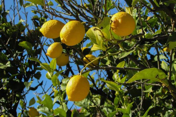 Bio-Zitronen aus Partanna, Belicé-Tal, Provinz Trapani, Sizilien, Italien